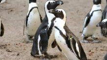 Pinguins gays roubam ovo de casal lésbico e tentam chocá-lo